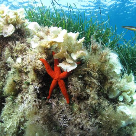 Red starfish (Echinaster sepositus) in its environment – Sandrine RUITTON